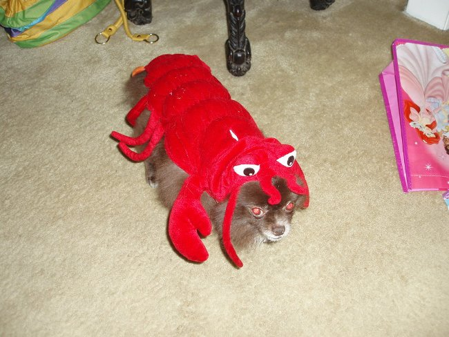 dog dressed up as a lobster